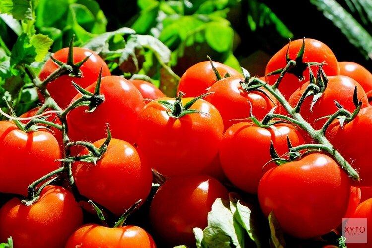 Tomatenvirus gevonden bij zes telers in Westland